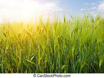 fält, av, grön, råg, och, solnedgång