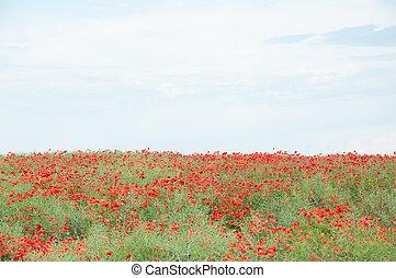 fält, av, röd, vallmoer, och, mulen himmel