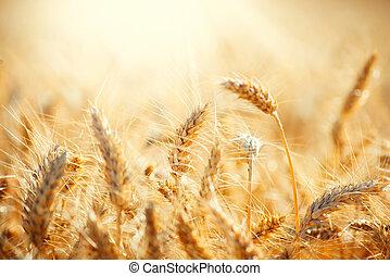 fält, av, torka, gyllene, wheat., skörd, begrepp