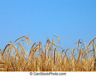 fält, av, vete
