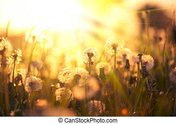 fält, blåsning, wind., maskros, över, beskaffenhet scen, bakgrund., maskroser, solnedgång, frö