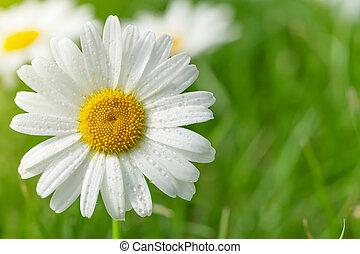 fält, blomma, kamomill, gräs