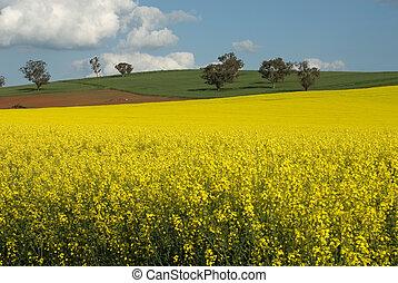 fält, blomning, canola