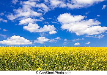 fält, blomning, eller, canola, rapsfrö