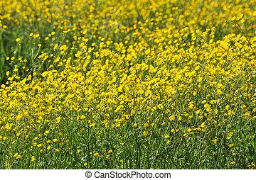 fält, blomningen