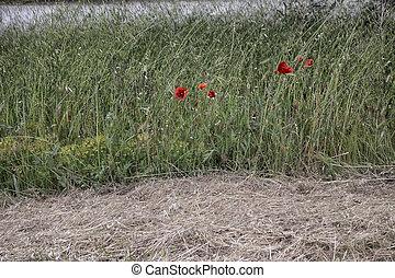 fält, Blomstrar, grön, röd, vallmo