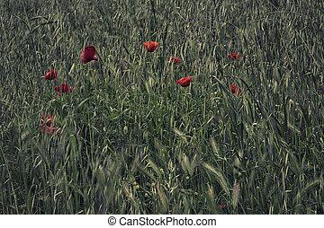 fält, Blomstrar, grön, röd, Vallmoer