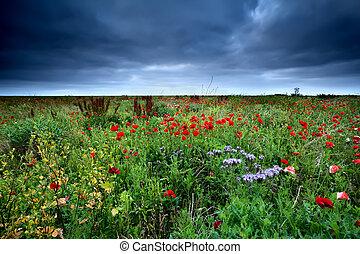 fält, Blomstrar, röd, vallmo