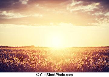 fält, bygd, hos, sunset., skörd, time., årgång