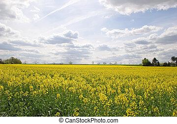 fält, canola
