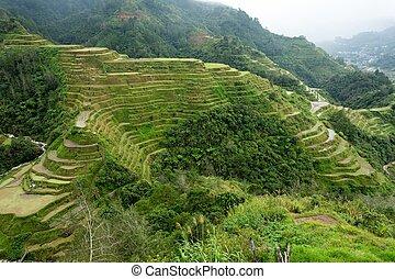 fält, filippinerna, ris, terrasserar