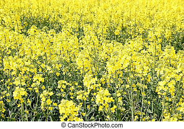 fält, gul, canola