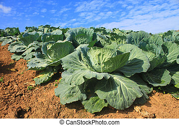 fält, kål, lantbruk