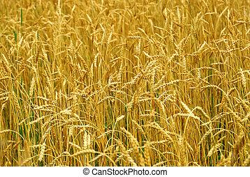fält, korn