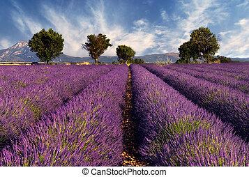 fält, lavendel, provence, frankrike