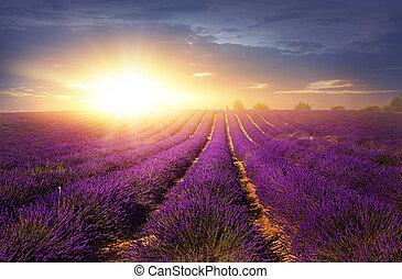 fält, lavendel