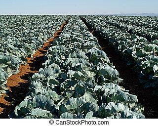 fält, nytt, växande, kål, jordbruk, landskap, synhåll