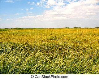 fält, ris