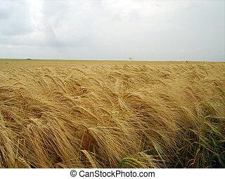 fält, skörd