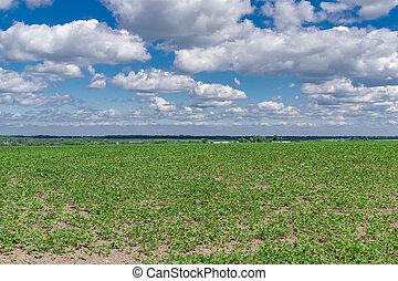 fält, sojaböna, sommar