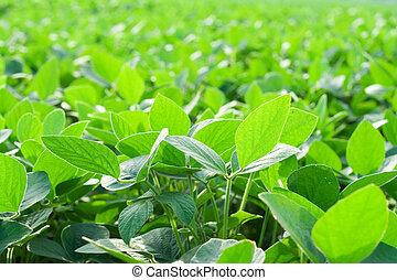 fält, sojaböna