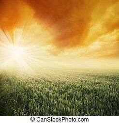fält, solig, morgon