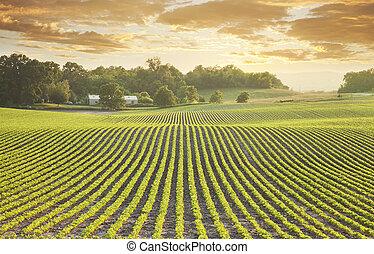 fält, solnedgång, sojaböna