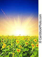fält, solnedgång, solros