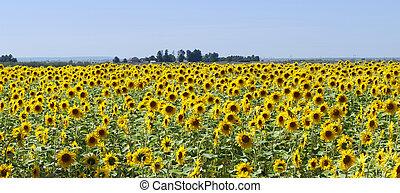 fält, solros, panorama