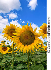 fält, solros
