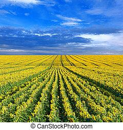 fält, solrosor
