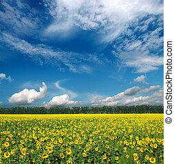 fält, under, sky, solrosor