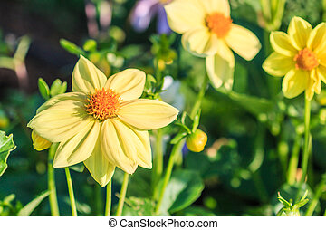 färgrik, dahlia, blomma