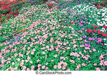 färgrik, petunia, blomningen