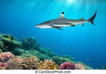 färgrik, undervattens, korallrev, och, haj