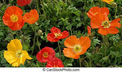 färgrika blomstrar