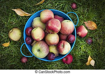 färska äpplen, skörd