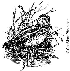 fågel, gemensam, beckasin