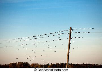 fåglar, på, elektrisk tråd