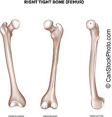 fémur, bone-, apretado