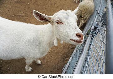 fényképezőgép, goat, istálló, látszó, fehér