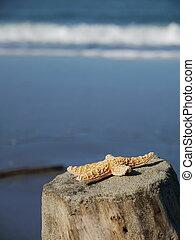férias praia, starfish