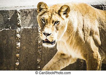 féroce, puissant, lionne, reposer, vie sauvage, mammifère, withbrown, fourrure