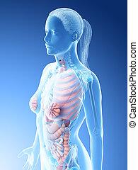 fêmeas, órgãos