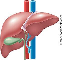 fígado, human, ilustração