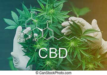 fórmula, profuso, empleado, grande, conceptos, cannabis, médico, cbd, número, químico, flores, manos, doctor, cultivo