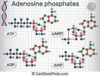 fórmulas, :, monophosphate, (amp), diphosphate, cyclic,...