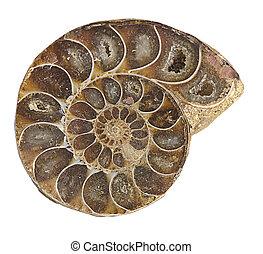 fósil de la amonita