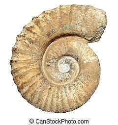 fósil, espiral, caracol, piedra, verdadero, antiguo,...