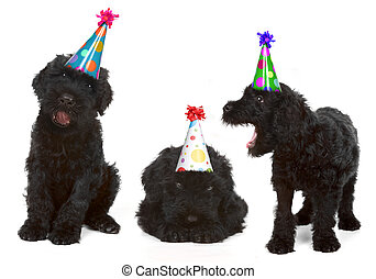 födelsedag, svart, rysk, terrier